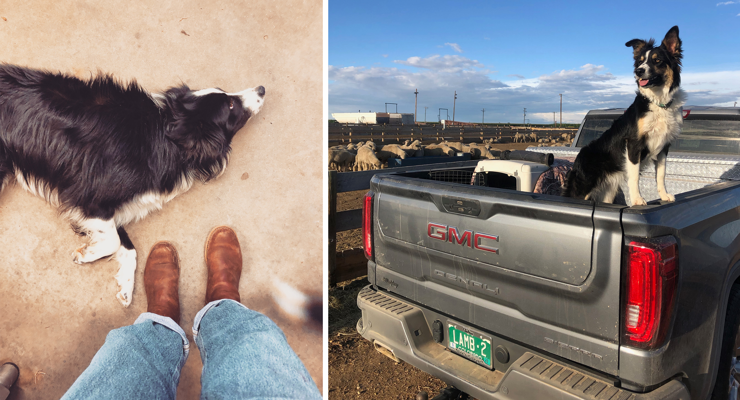 Millie, the sheepdog laying on the ground, and in the back of a pickup truck